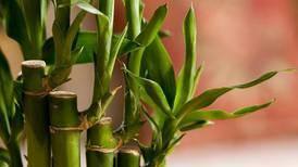 Los mejores lugares para colocar el bambú y que así atraiga la buena suerte